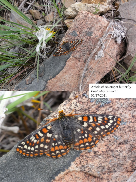 Anicia checkerspot butterfly